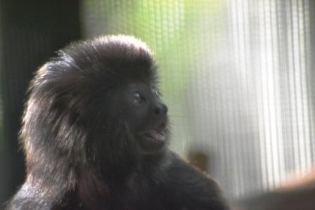 Baby Goeldi's Monkey (photo by Claudia Harden, Marketing Manager)