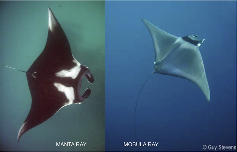 Manta and Mobula Ray
