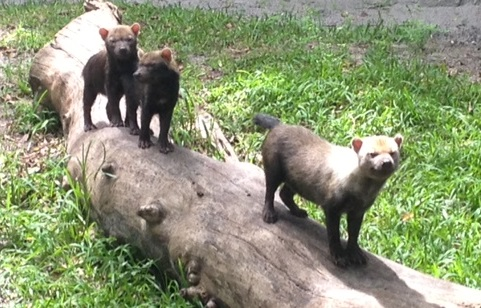 Bush Dog Whelps with Dad, Oscito / Photo by Ashley Yates, Palm Beach Zoo Keeper