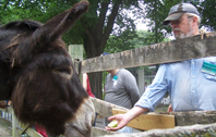 volunteer feeding an apple to a donkey